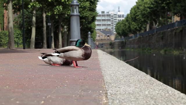 green headed duck couple sunbathing in london - anatra uccello acquatico video stock e b–roll