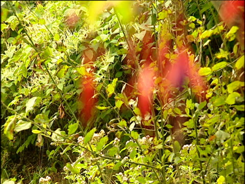 green hedgerow in background focus pull to pink fuchsias in foreground isle of wight - isle of wight stock videos & royalty-free footage