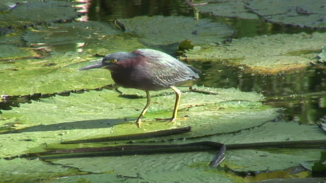 Green heron in the swamp 5 - HD 60i