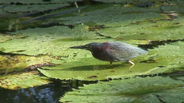 Green heron in the swamp 6 - HD 60i