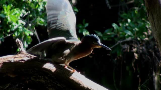 green heron preens federn macht um so das gleichgewicht verliert. - tier rücken stock-videos und b-roll-filmmaterial