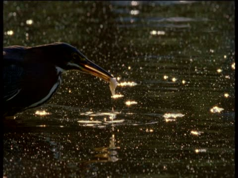 green heron uses sodden bread as a lure for fish - bunter reiher stock-videos und b-roll-filmmaterial