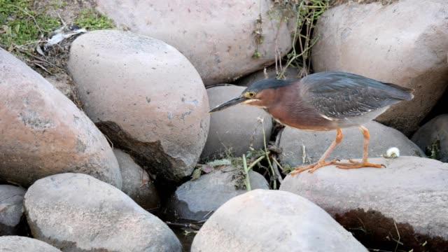 green heron - heron stock videos & royalty-free footage