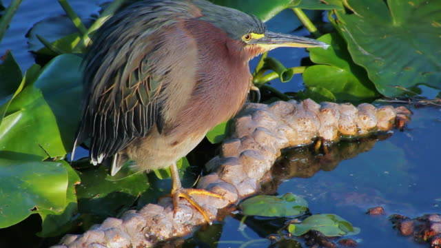 MS Green heron (Butorides Virescens) / Wakodahatchee Wetlands/ Palm Beach County/ Florida