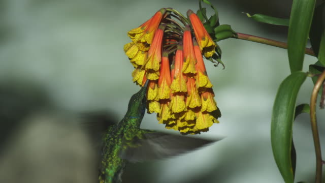MS Green Hummingbird feeds from yellow flower cluster facing away from camera with river in background then flies out
