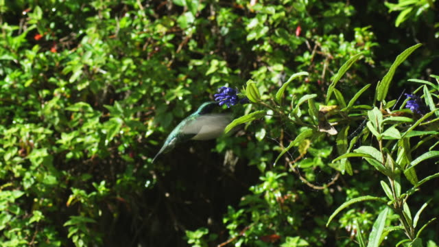 ws green hummingbird feeds in profile from tilted flower spike  - 40 sekunden oder länger stock-videos und b-roll-filmmaterial