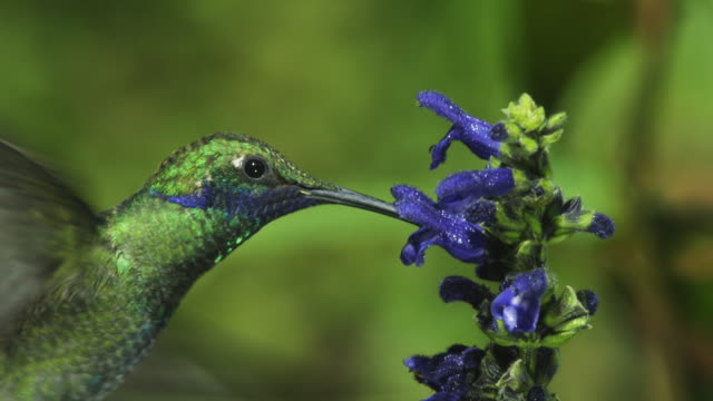 CU Green Hummingbird flies into shot and feeds from blue flower spike moving in profile and facing camera