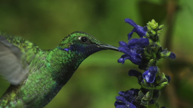 cu green hummingbird flies into shot and feeds in profile from blue flower spike then flies off  - feeding stock videos & royalty-free footage