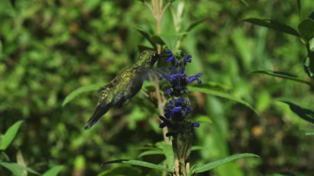 stockvideo's en b-roll-footage met ms green hummingbird hovers and feeds from blue flower spike moving round flowers  - meer dan 50 seconden