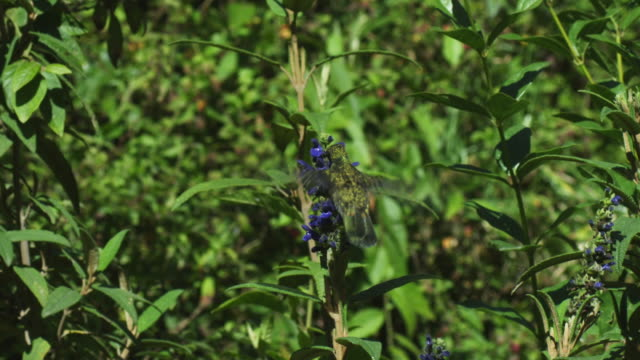 stockvideo's en b-roll-footage met ws green hummingbird hovers and feeds from blue flower spike moving round flowers  - meer dan 50 seconden