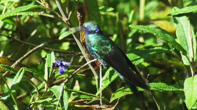 ms green hummingbird perches on twig and drinks from blue flower spike without hovering - 羽ばたく点の映像素材/bロール