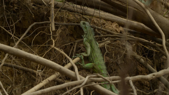 green iguana (iguana iguana) balancing on roots and branches at river bank peers around. - root stock videos & royalty-free footage