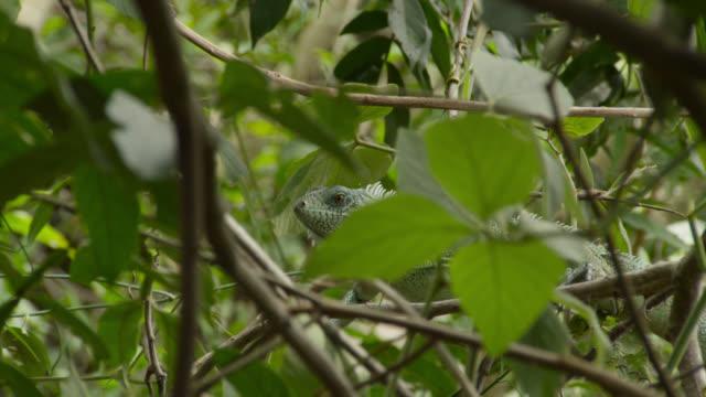 Green iguana (Iguana iguana) clambers through tree branches.