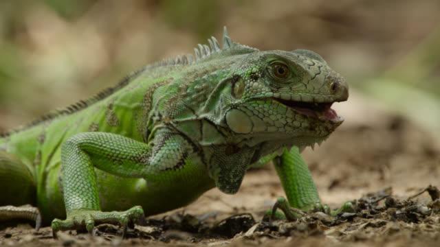 green iguana (iguana iguana) feeds on giant otter spraint at latrine site. - iguana stock videos & royalty-free footage
