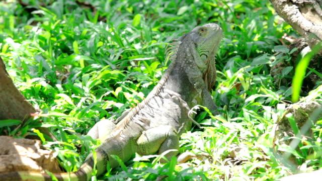 vídeos de stock e filmes b-roll de iguana verde na relva - apanhar sol