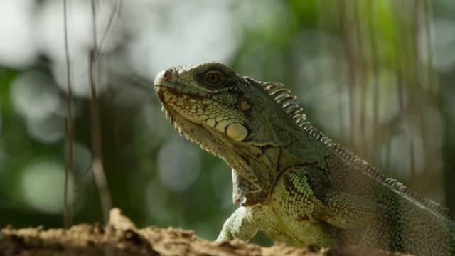 green iguana (iguana iguana) on top of river bank. - iguana stock videos & royalty-free footage