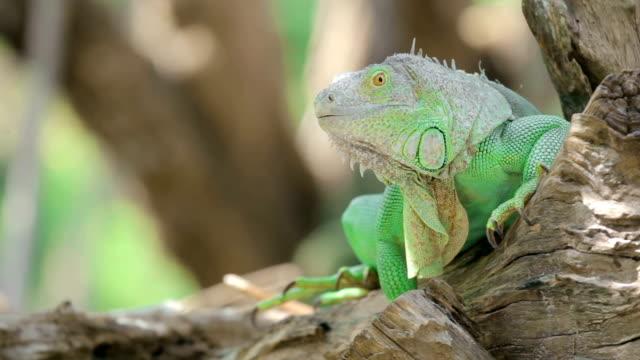 Green iguana sitting on a tree branch