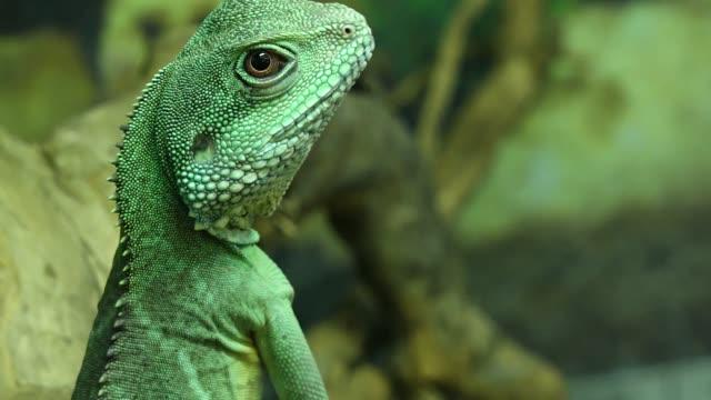 vídeos de stock, filmes e b-roll de green iguana - reptile