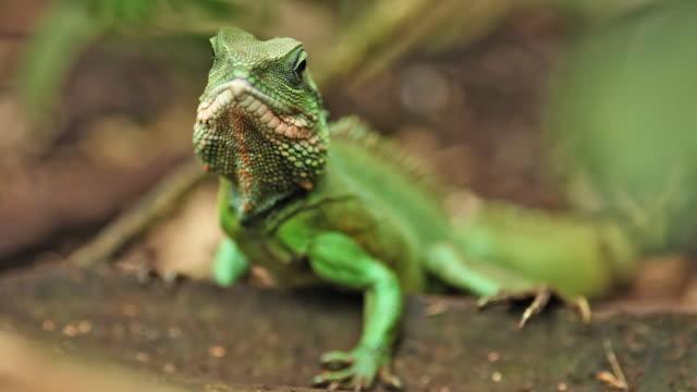 vídeos de stock e filmes b-roll de iguana verde - réptil