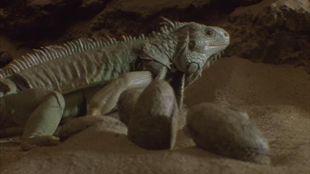 A green Iguana walking through the sand around a nest of lizard eggs.