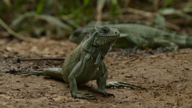 Green iguanas (Iguana iguana) at giant otter latrine site.