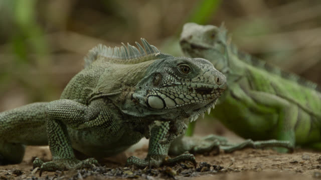 green iguanas (iguana iguana) feed on giant otter spraint at latrine site. - iguana stock videos & royalty-free footage