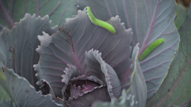 green inchworms on cabbage, time lapse - cabbage stock videos and b-roll footage