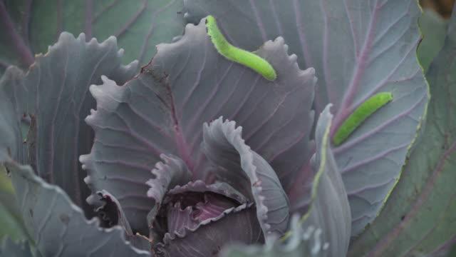 vídeos de stock, filmes e b-roll de green inchworms on cabbage, time lapse - grupo pequeno de animais