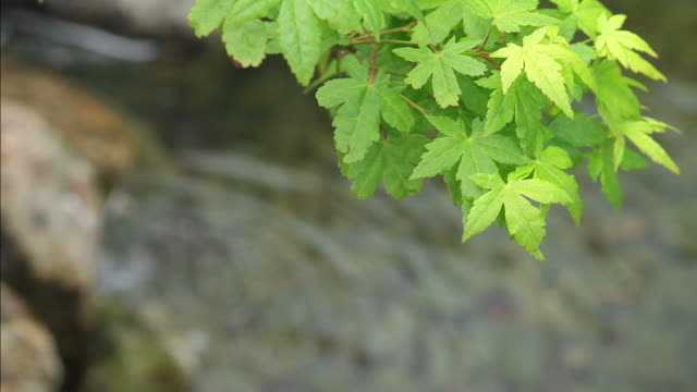 hd: green japanese maple - oriental garden stock videos and b-roll footage