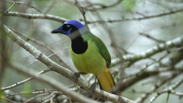 green jay perching in tree - perching stock videos & royalty-free footage