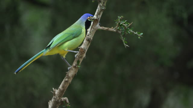 green jay perching on branch - perching stock videos & royalty-free footage