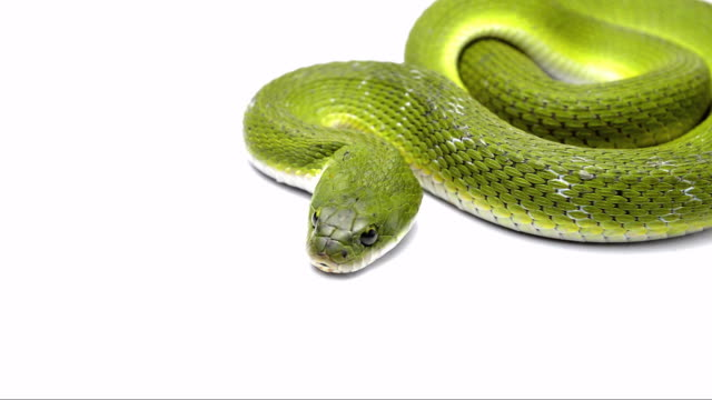 green keelback snake - snake stock videos and b-roll footage