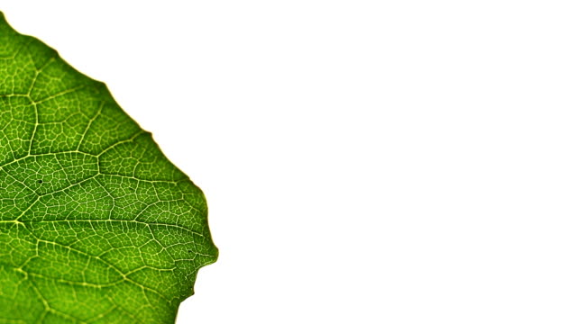 a green leaf displays a veined cell structure. - cell structure stock videos & royalty-free footage
