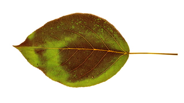a green leaf dries to brown as it dies. - drying stock videos & royalty-free footage