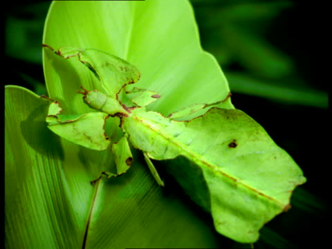 a green leaf insect camouflages itself on a  leaf. - disguise stock videos & royalty-free footage