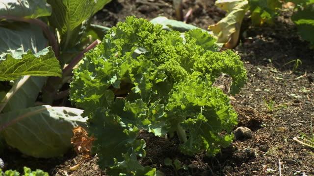 green leaf lettuce in a garden - lettuce stock videos & royalty-free footage