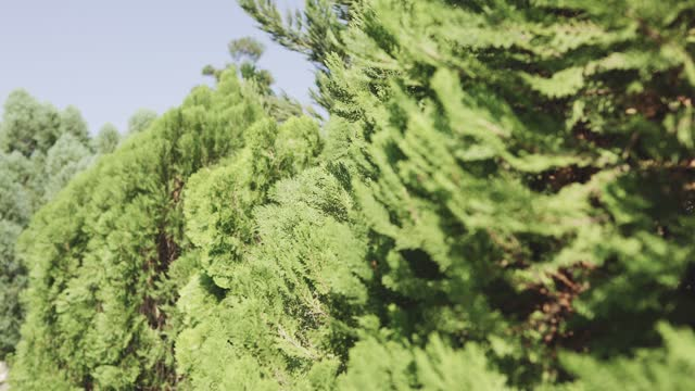 green leaf of pine tree swaying in the wind on blurred background in garden. - nightdress stock videos & royalty-free footage