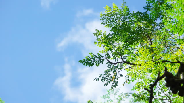 4K Green leaf on tree in wind with clear blue sky and clouds in Thailand