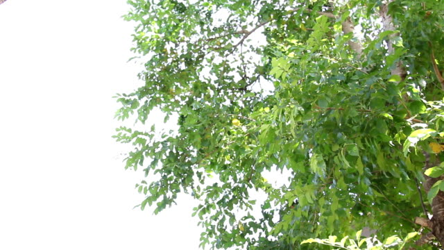 green leaf tree move via wind