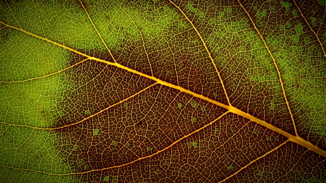 A green leaf turns brown and decays.
