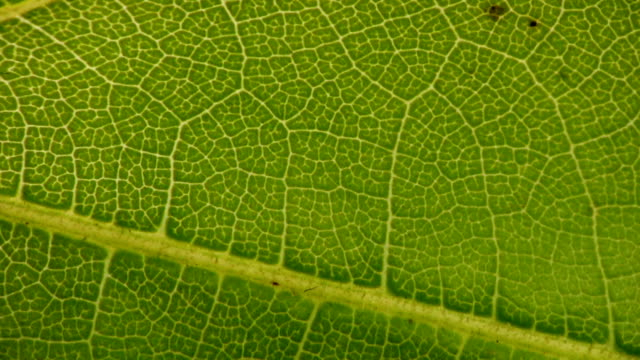 HD MACRO: Green Leaf Vein