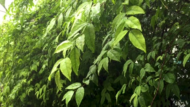 green leaf with rain - ash tree stock videos & royalty-free footage
