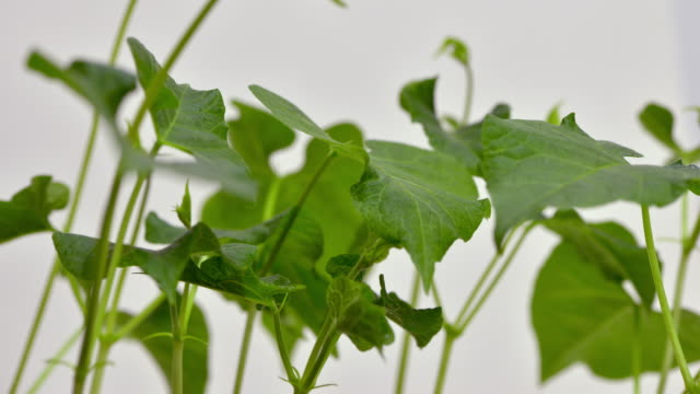 green leaves and stems of young runner bean shoots grow up through the frame - runner bean stock videos & royalty-free footage