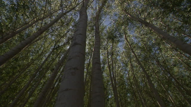 green leaves atop tall trees create a dense canopy in a forest. - aspen tree stock videos & royalty-free footage