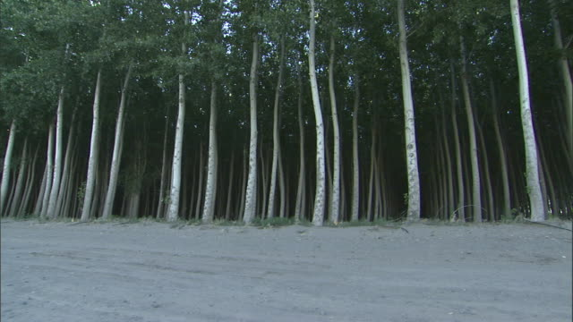 green leaves cover the branches of aspen trees. - reforestation stock videos and b-roll footage