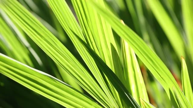 green leaves in holehird gardens, windermere, lake district, uk in summer. - イネ科点の映像素材/bロール