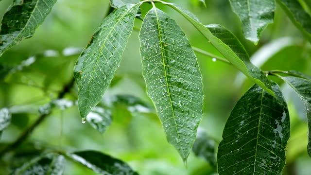 vídeos de stock, filmes e b-roll de folhas verdes em chuva - pingo de chuva