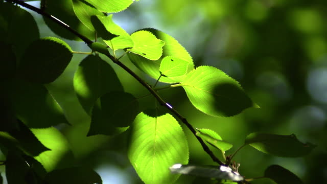 Green leaves In The Sunlight