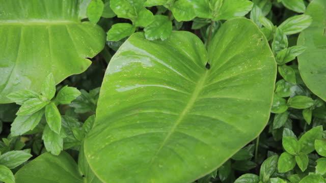 stockvideo's en b-roll-footage met green leaves in tropical rainforest - kauai