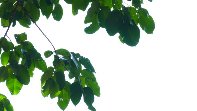 green leaves isolated - plant part stock videos & royalty-free footage